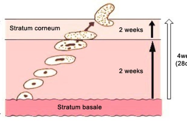 Skin cycle