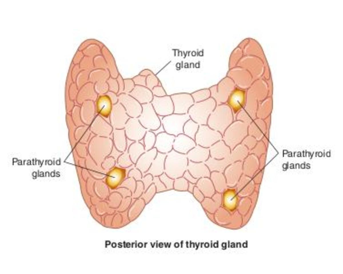 Thyroid gland (2)
