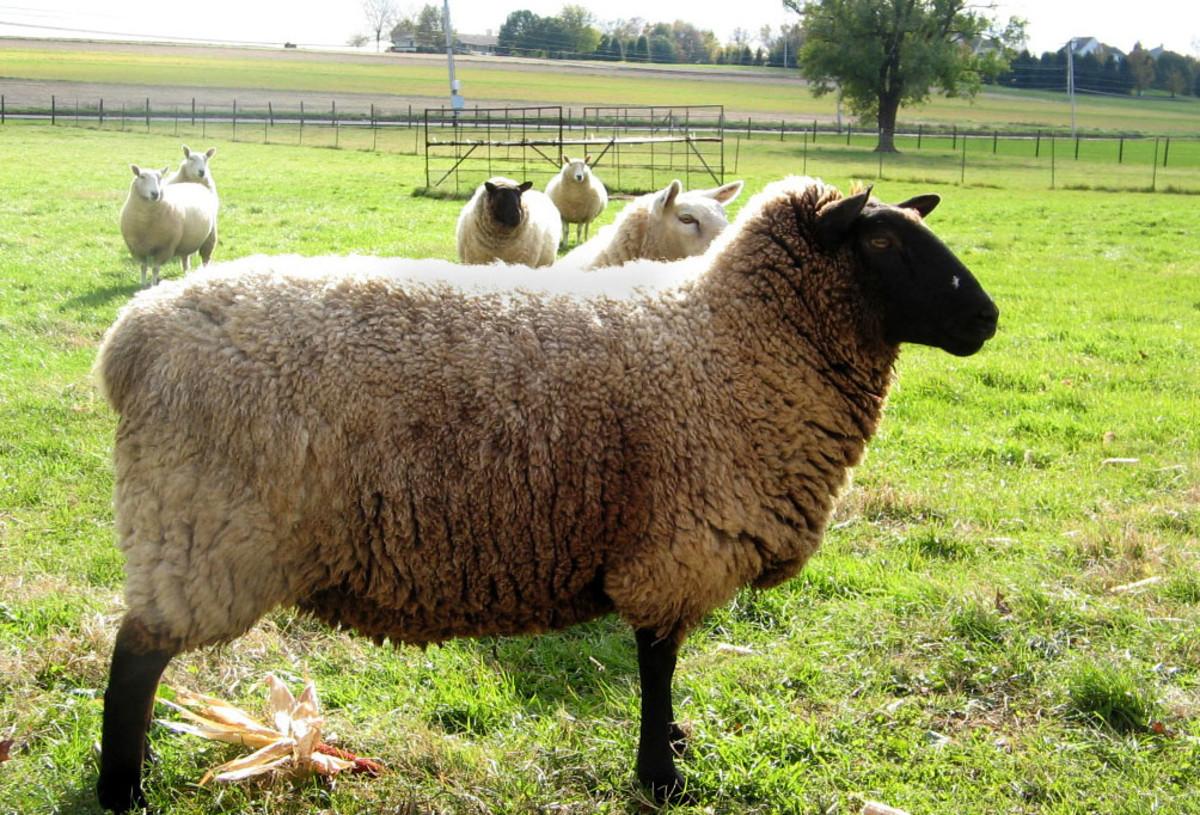 Sheep lanolin