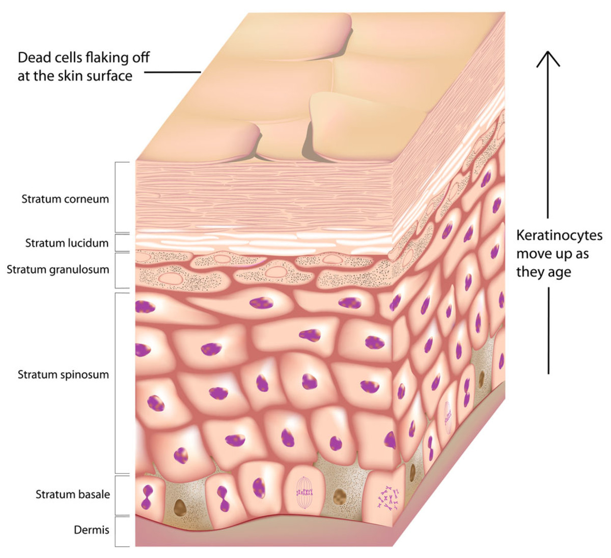 the anatomy of skin Prevent dehydration: the skin forms a water proof layer all around the body thus preventing excessive loss of water, which is vital for people living in deserts and.